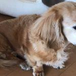 老犬認知症ブログ。夜泣き吠える。後ろ足立てない引きずってる時僕はさすってあげる事しかできない